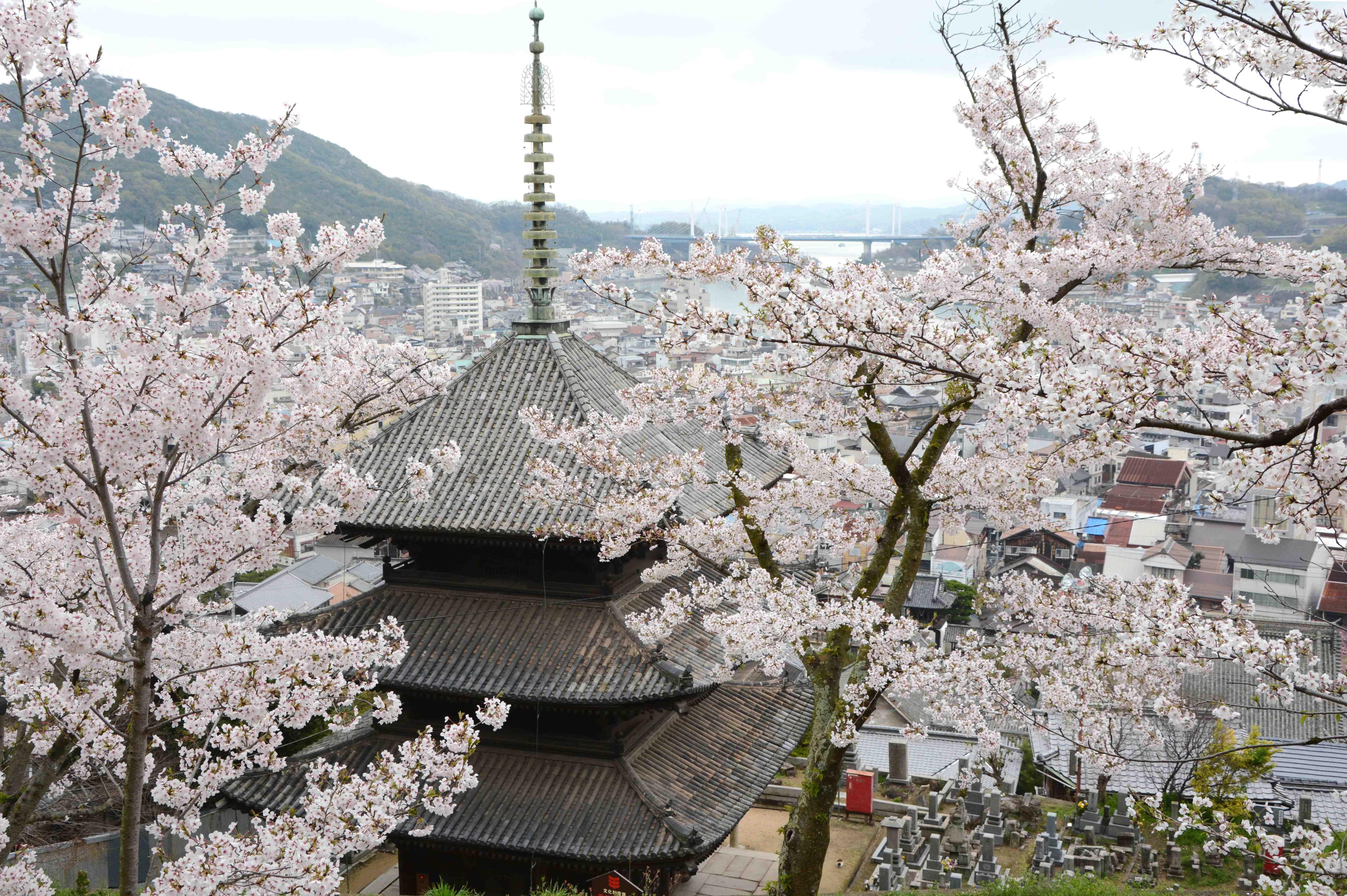 さくら咲く尾道。「日本三大桜」子孫樹のお花見を楽しんだ後は、一棟貸の町家でゆったり過ごす日本の春の休日。せとうち 湊のやど