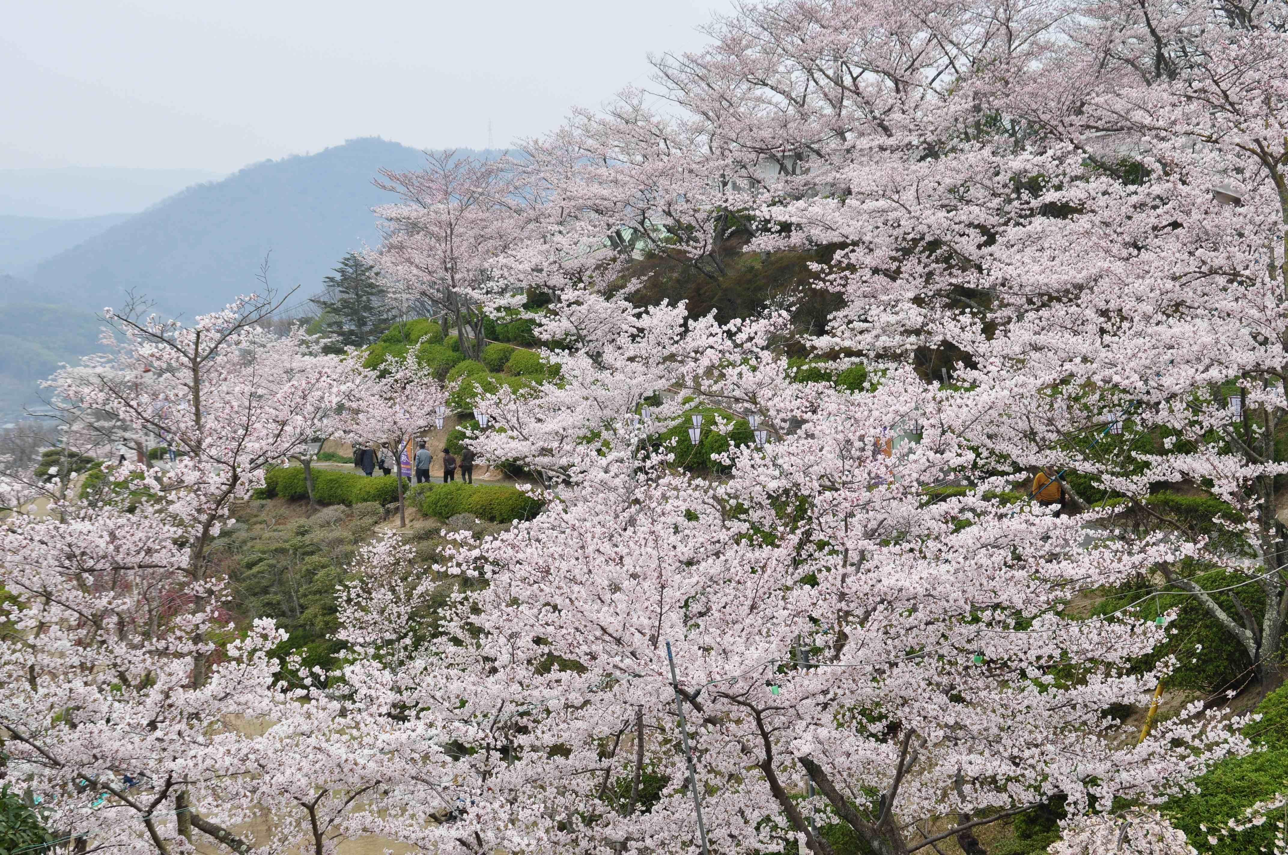 桜の便りが尾道にも。 今からでも間に合う、海と瀬戸内の島を眺めながらのお花見と、お茶室のある町家でゆったり過ごす春の休日。せとうち 湊のやど